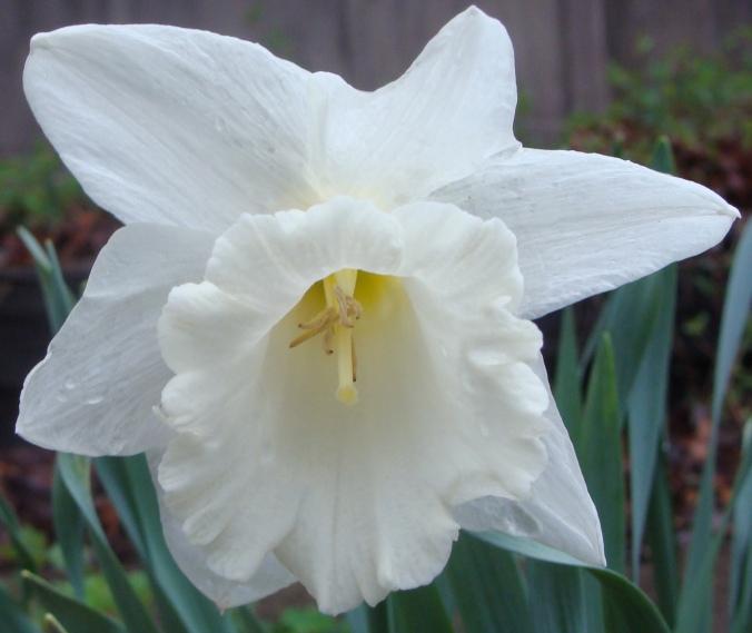Large trumpet white daffodil.