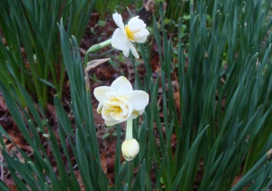 Tiny white daffodils with sweet fragrance