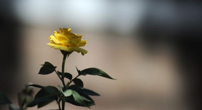 Afghani Rose