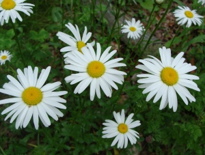 Daisies - a really underappreciated flower.