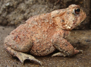 Our toad to be?