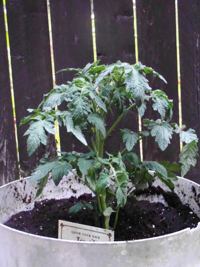 Is Connie fixin' to kill another tomato plant?