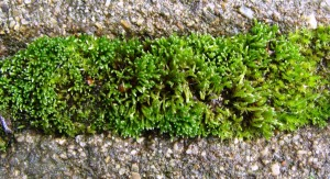 Moss on the patio.