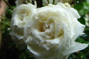 Mmmmmm...white roses