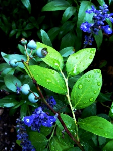 Connie wonders how long before the blueberries get blue.