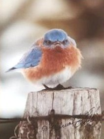 Michael L. Smith's incomparable Mad Bluebird Photo