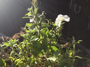 petunias in november