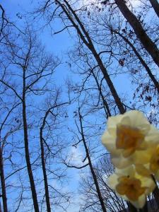 daffodilsky