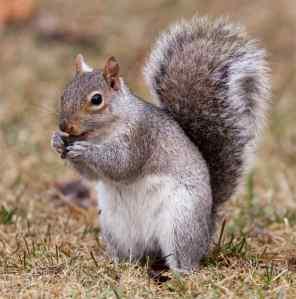 squirrel-eating-acorn